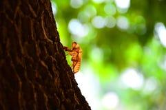 Cicada Stock Photography
