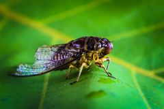 Cicada insects Thailand stock images