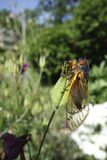 Cicada 2013 Royalty Free Stock Photo