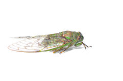 Cicada isolated Stock Photography