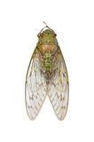 Cicada isolated. On white background Royalty Free Stock Photo