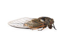 Cicada isolated. On white background Stock Images