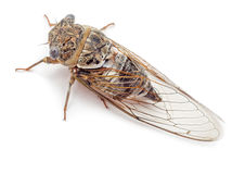 Free Cicada Isolated Top View Stock Photo - 75599770