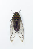 Cicada Royalty Free Stock Image