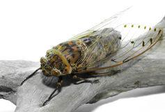 Cicada isolated Royalty Free Stock Image