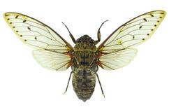 Cicada isolated on white background.  Royalty Free Stock Photos