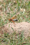 Cicada killer at burrow Stock Images