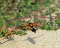 Cicada Killer Stock Photo