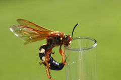 Cicada killer (Wasp). Close up of a Cicada Killer on glass rain gauge tube royalty free stock photography