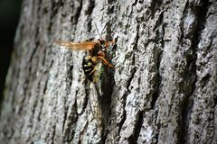 Cicada Killer Wasp Stock Images