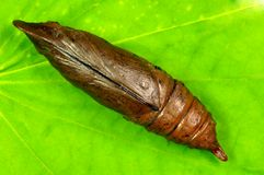 Cicada larva Royalty Free Stock Photography