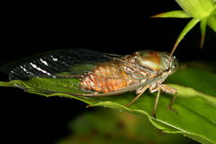 Cicada on a leaf Stock Photo