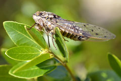 Cicada on leaf. Macro of Cicada orni on leaf in the south of France Royalty Free Stock Photos