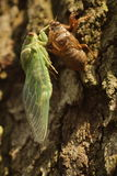 Cicada Leaving Shell On Tree Royalty Free Stock Photos