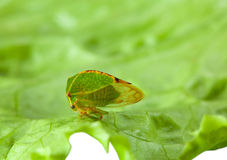Cicada on lettuce leaf Royalty Free Stock Image