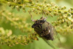Cicada. Locust or Cicada on a green and yellow plant Royalty Free Stock Image