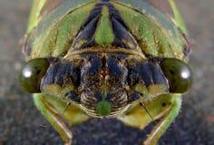 Cicada. A macro of a cicadas facial features Royalty Free Stock Images
