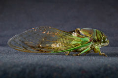 Cicada. A macro of a cicadas wings and facial features from the side Stock Photo