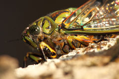 Cicada Macro Portrait Royalty Free Stock Images