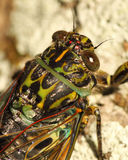 Cicada Macro Portrait. A macro portrait of a New Zealand Cicada Royalty Free Stock Image