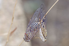 Cicada mating Royalty Free Stock Images