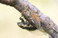 Cicada mating Royalty Free Stock Photo