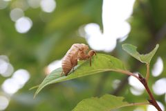 Cicada shells Royalty Free Stock Photos