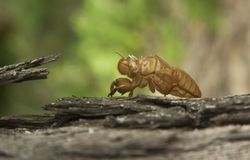 Cicada insect molting on tree in nature. Cicada metamorphosis grow up to adult insect stock image