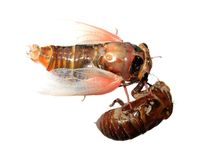 Cicada and molt Royalty Free Stock Image