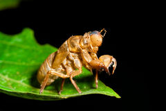 Cicada molt Royalty Free Stock Photos