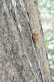 Cicada molt Στοκ Φωτογραφία