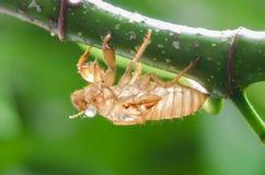 Cicada molt Στοκ Φωτογραφίες