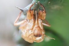 Cicada molt. Stock Photos
