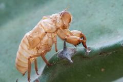 Cicada molt. Royalty Free Stock Images