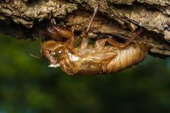 Cicada molt Stock Images