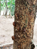 Cicada molt hold on a tree. Royalty Free Stock Photography