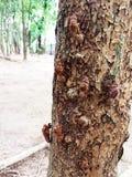Cicada molt hold on a tree. Royalty Free Stock Photo