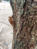 Cicada molt hold on a tree. Royalty Free Stock Images