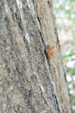 Cicada molt. Cicada insect molt on the tree stock photography