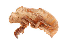 Cicada molt isolated Stock Images