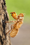Cicada molt Stock Photography