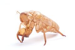 Cicada molt Stock Image