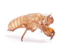 Cicada molt Stock Photo