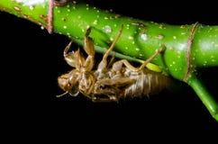 Cicada molt Royalty Free Stock Photography