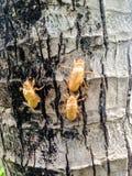 Cicada molt on the tree Stock Photo