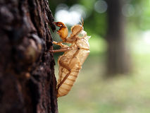 cicada molt on tree in early summer Stock Photography