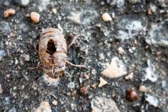 Cicada Molted Exoskeleton Στοκ Φωτογραφία