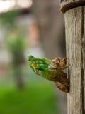 Cicada Molting Στοκ φωτογραφίες με δικαίωμα ελεύθερης χρήσης