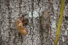 Cicada Molting Στοκ Εικόνα