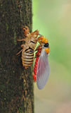 Cicada molting. On the tree stock photo